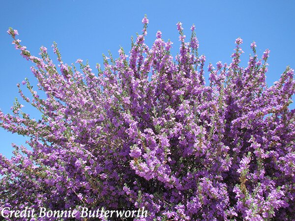 Desert Wildflowers Lake Havasu City