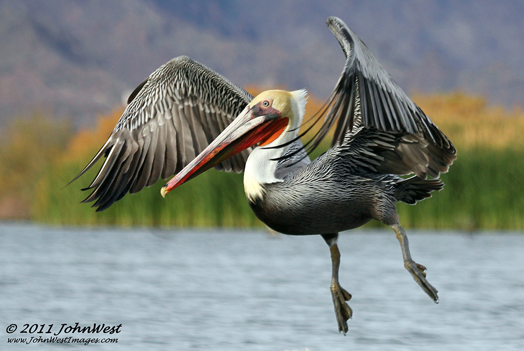 A Brown Pelican at the Bill Williams River Wildlife Refuge-Credit John West Images
