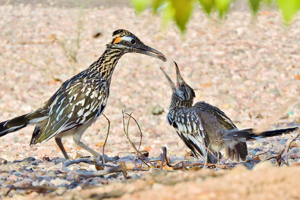 Roadrunner feeding juvenile at Steamboat Cove